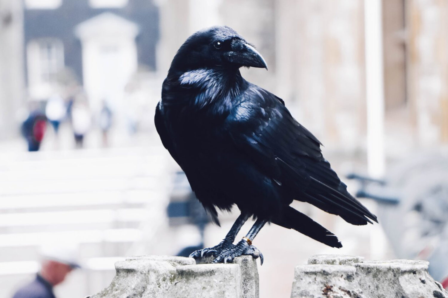 tower of london private tour raven